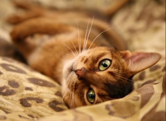 Baka yang paling cantik dan bijak kucing Abyssinian