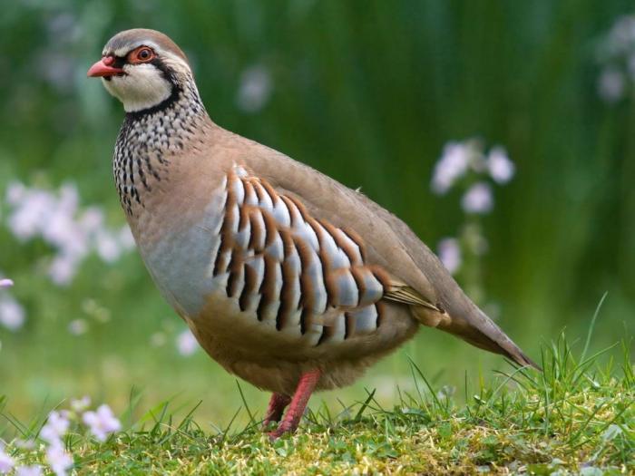 Ayam Hutan Jenis Burung Di Mana Dia Hidup Dan Apa Yang Perlu Makan