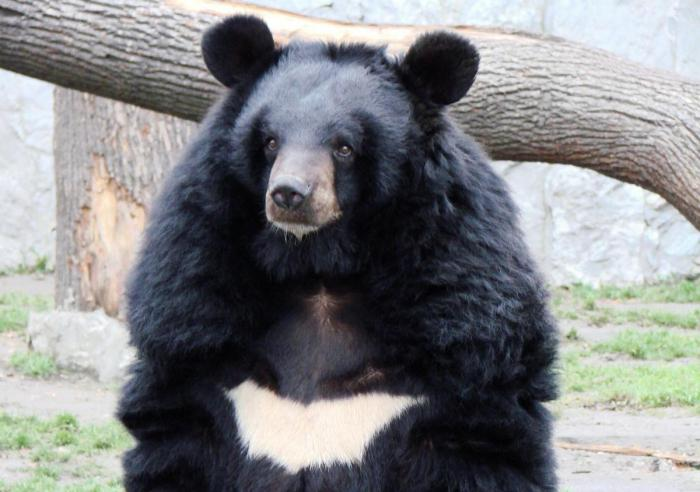 medve epe magas vérnyomás